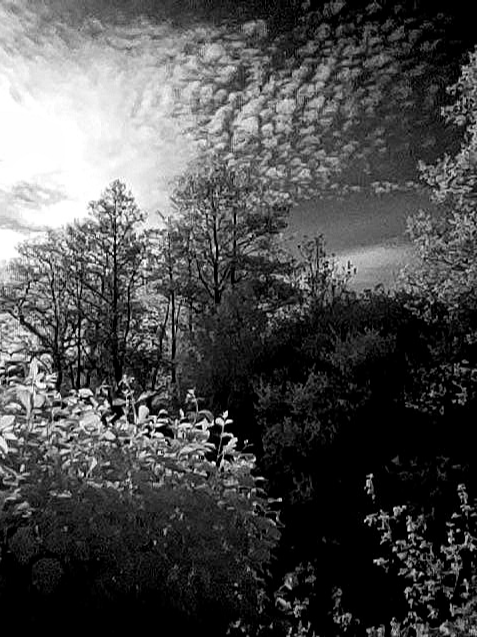 IR photo on the Pocophone F1 - trees